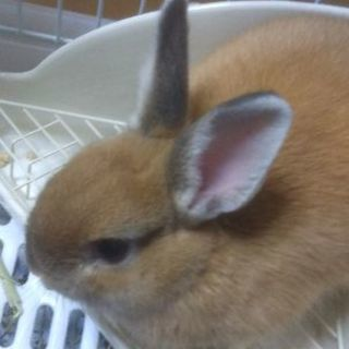 ネザーランドワーフ ウサギをもらってください。