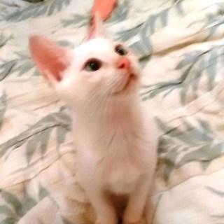 ★白猫の可愛らしい女の子・3ヶ月★