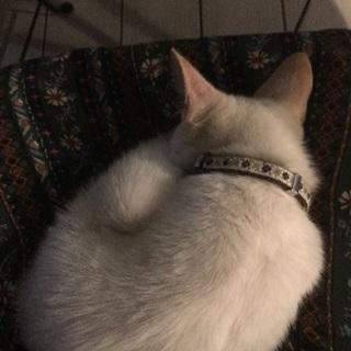 人が大好き!甘え上手の白猫くん♂ - 猫