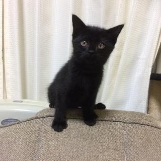 生後2ヶ月 メスの黒猫【里親さん決まりました、ありがとうございました】