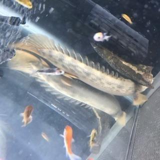 ポリプテルス幼魚約20cm