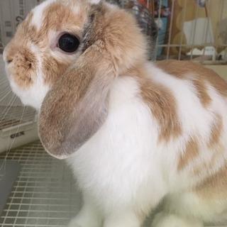 【引き渡しの方決まりました】ウサギ ホーランドロップイヤー