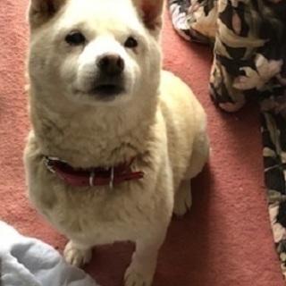 白柴犬のじゅんちゃん。  老犬