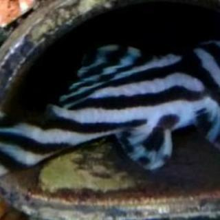 インペリアルゼブラプレコ ワイルド 6cm程 美個体