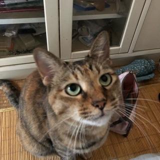 成猫(7歳)、甘えん坊の女の子です!