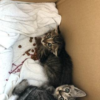 生後1ヶ月~2ヶ月程度、キジトラ、サバトラ