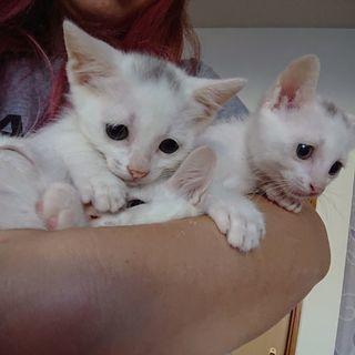 白猫(頭にちょっぴりグレーのブチあり)子猫2匹
