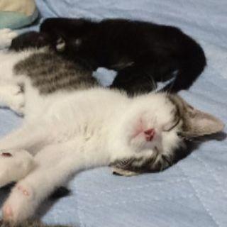 オスの子猫の里親をさがしております
