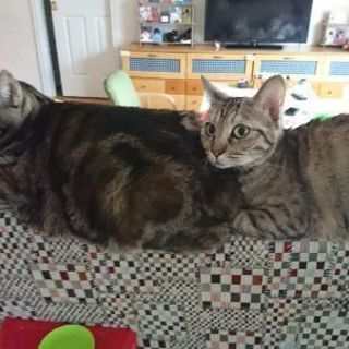 メス猫親子2匹です♀5歳♀3歳