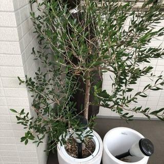 観葉植物 オリーブの木、フェニックス