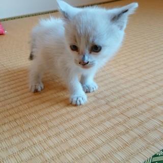 子猫(生後1ヶ月程度)白猫 ブルーアイ
