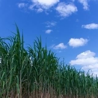 ★ さとうきび収穫および工場作業 ★【沖縄本島勤務】