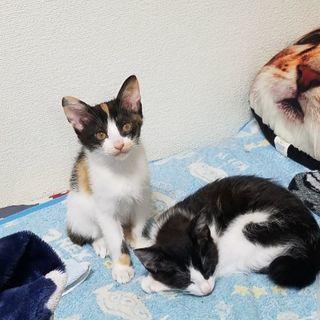 2ヶ月半の三毛猫