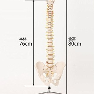 7ウェルネ 可動脊椎模型 実物大