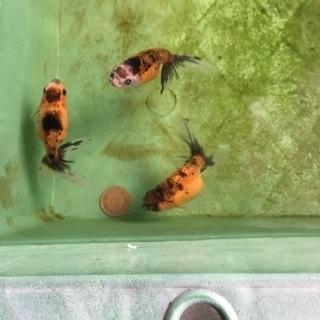 珍種 京錦(モザイク透明鱗)当歳魚  3匹セット