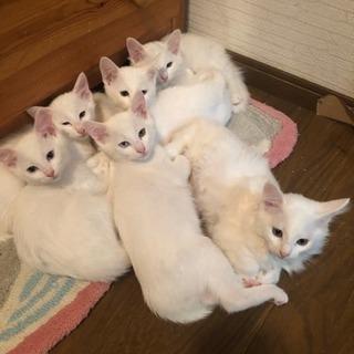 可愛い白い猫ちゃんです^ ^7匹います^ ^