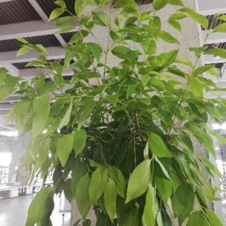 アマゾンオリーブ 観葉植物 花花