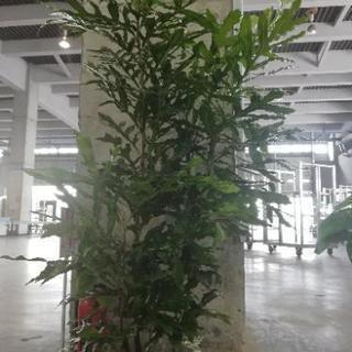 観葉植物 ステノカーパス 花花花