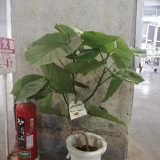 ウンベラータ 7寸 観葉植物 花