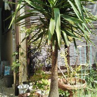ユッカ 青年の木 観葉植物 約190cm