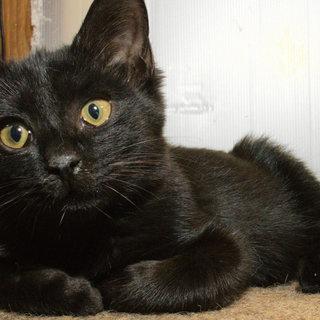 生後3カ月ぐらいの黒猫(メス)人間...