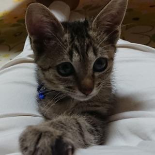 生後2か月☆元気でヤンチャなキジトラ♂です