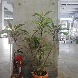 ドラセナ チョコレートクイーン 観葉植物 花