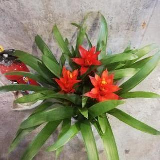 アナナス グズマニア 観葉植物 花 花 花