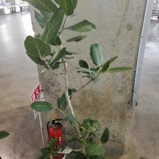8寸 ベンガレンシス 観葉植物 花