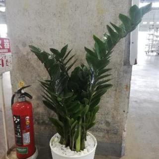 ザミオクルカス 8寸鉢 観葉植物 花花 花
