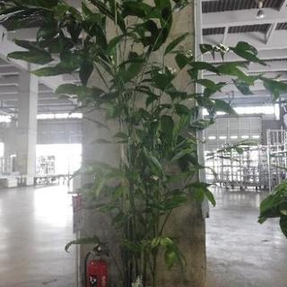 観葉植物 高性 チャメドラ