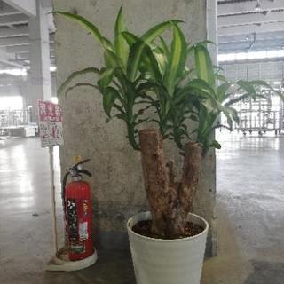 マッサン ブランチ 観葉植物 花