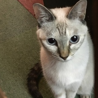 二歳の猫(♀)の里親様募集 宮崎県宮崎市