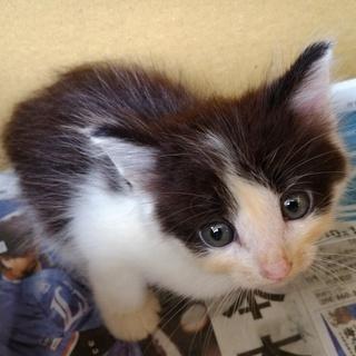6ヶ月の元気な白黒の雄猫、マイクロチップ、去勢手術の費用のこちら持...