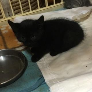 生後1カ月くらいの黒の子猫です