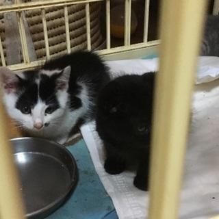 生後1カ月くらいの黒と白の子猫です