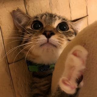 【ライオン顔子猫☆キジ白ルイージ】