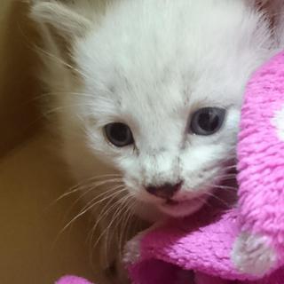 白のブルーアイとトラの小猫を保護しました。