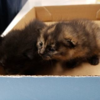 生後2週間ほどの仔猫です里親募集です。有り難うございました里親見...