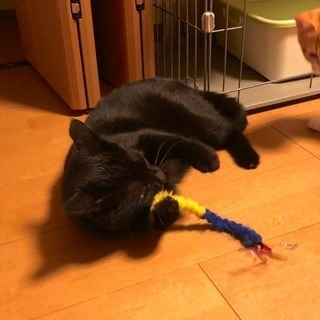 10ヶ月の黒猫 里親様決まりました - 猫
