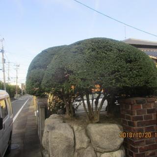 福岡、松の木剪定、植木の剪定、便利屋