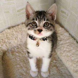 三角まゆげの子猫☆まゆげ君