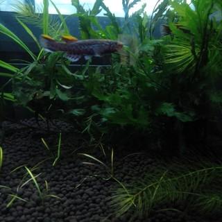熱帯魚 アフィオセミオン ガードネリー 1ペア+オス