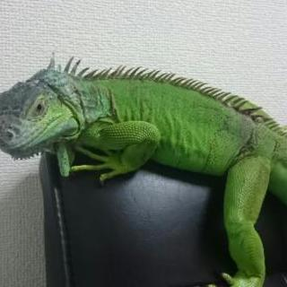 グリーンイグアナ 約1歳半
