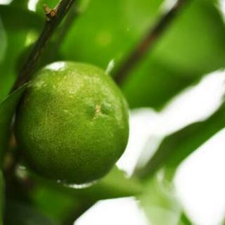 柑橘系植木 みかんetc