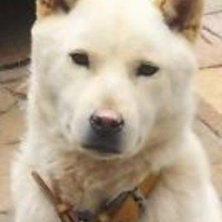 北海道犬 4歳 オス