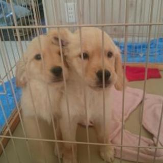 再掲載 ゴールデンレトリバーの子犬(4ヶ月)