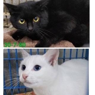 里親決定!有難うございました!綺麗な黒猫と白猫🐱人懐こい2匹が保...