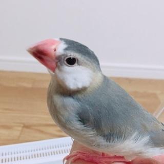 桜文鳥のオスを譲ります!