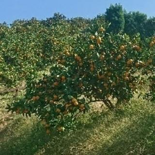 【♪各種柑橘系「みかん / ポンカン」など♪】の収穫に携わりません...